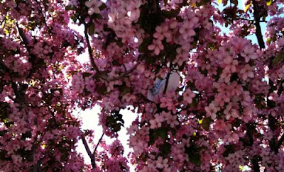 Tree with a huge number of pink flowers, glimpse of something white in the midst of it all