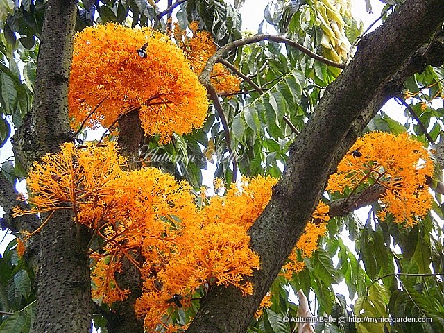 My Nice Garden The Yellow Saraca Thaipingensis Tree At