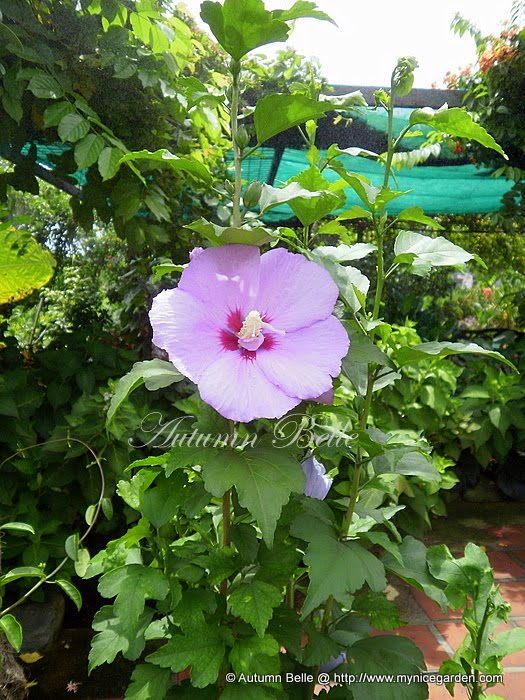 My Nice Garden: Hibiscus syriacus, The National Flower of South Korea