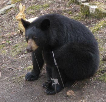 dejected bear