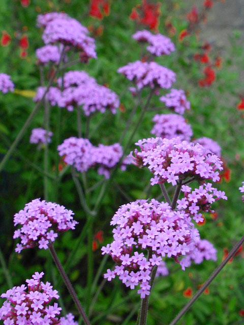 ENTRAPUES xD: Plantas Medicinales: Verbena, achicoria ...