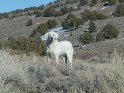 White Herding Dogs