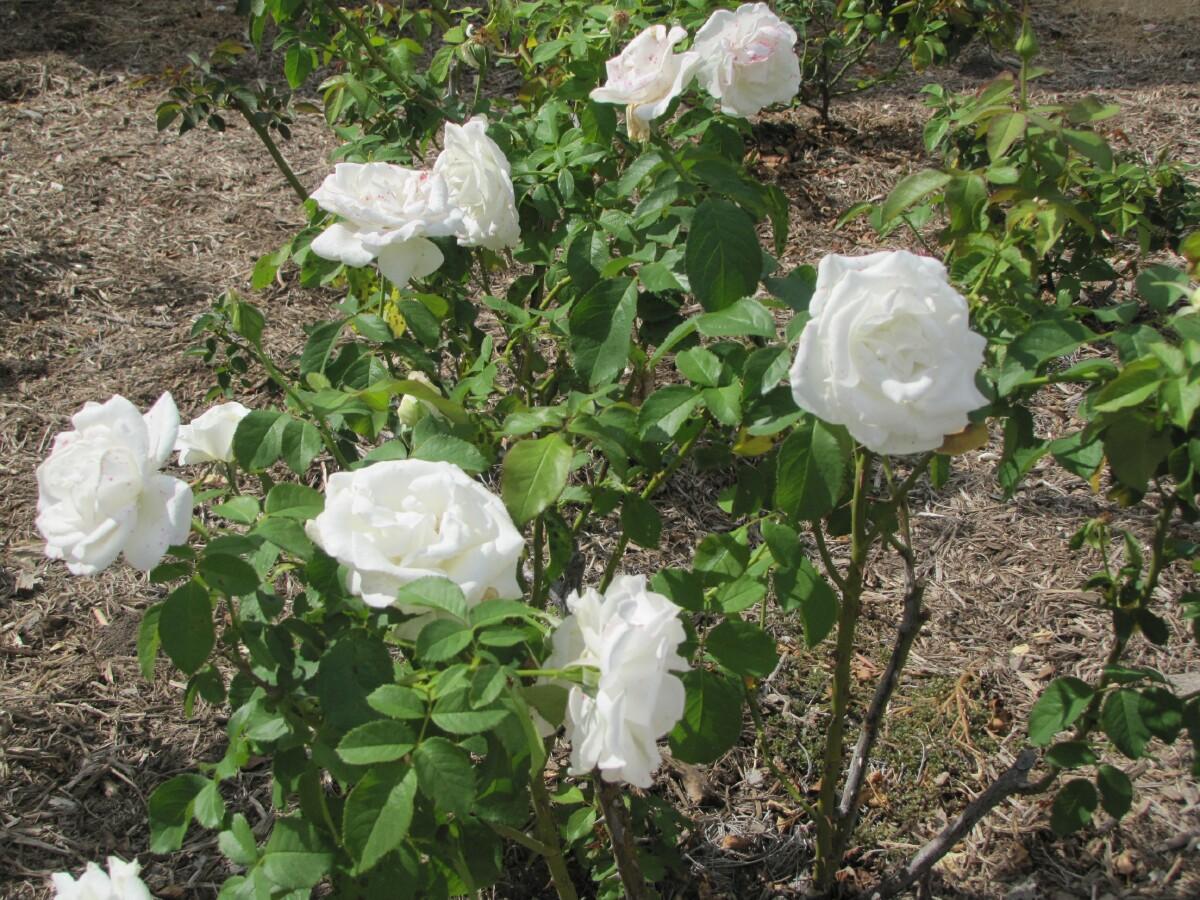 Tulsa gentleman sooc crystalline hybrid tea rose for Arboles de flores para jardin