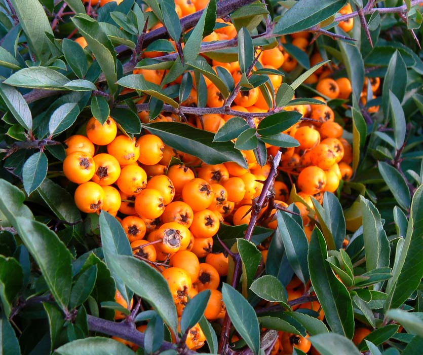 Wcs Pyracantha Or Cotoneaster