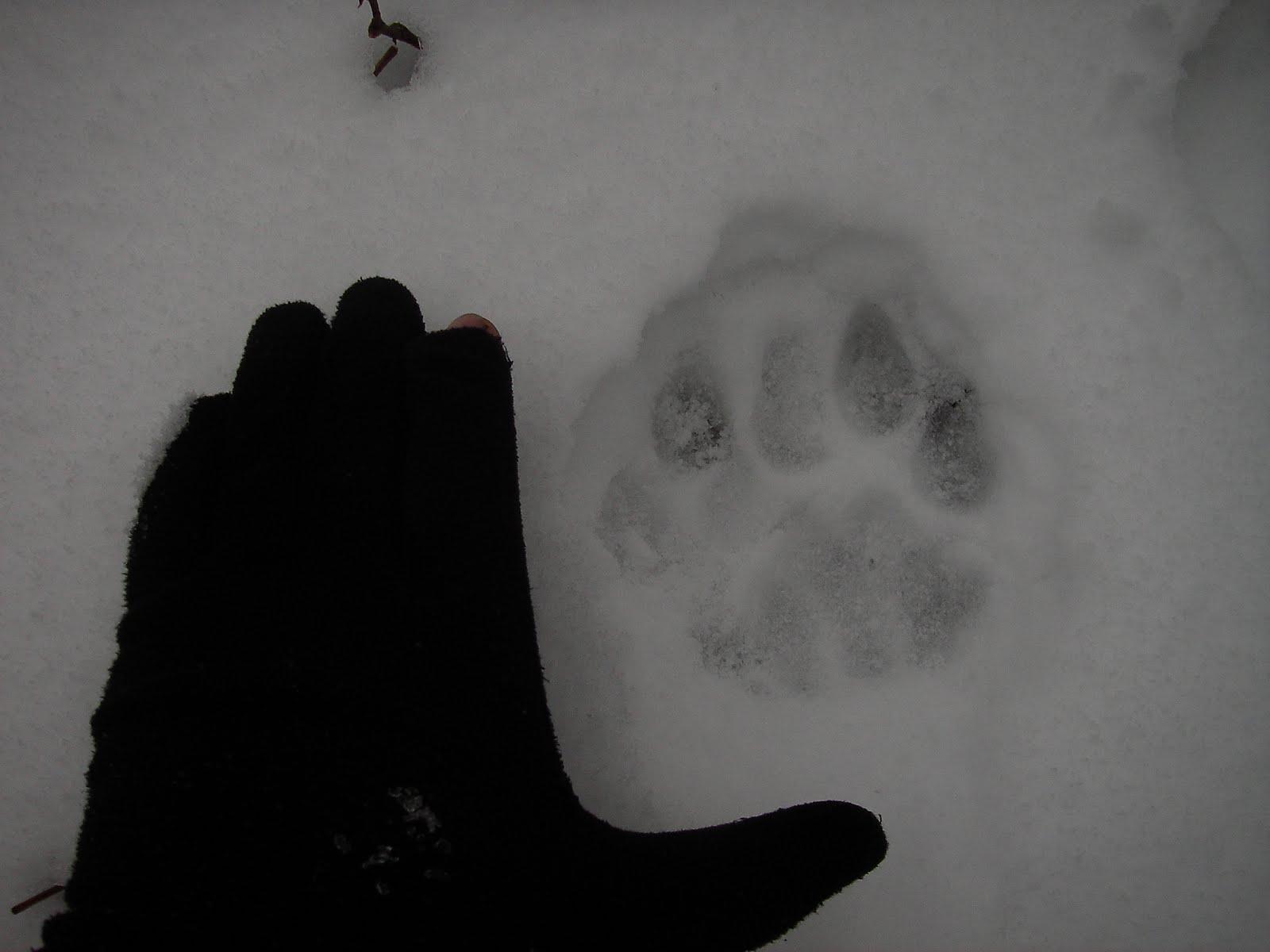 Wolf Track Vs Dog Track