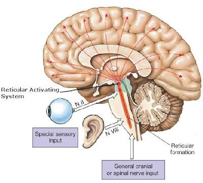 reticular formation diagram gfs dream 180 wiring