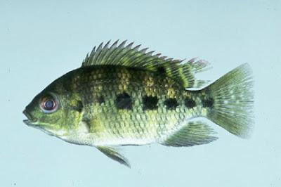 Proyecto pragmalia 227 cr a y reproducci n del pez tilapia for Proyecto cria de peces en estanques
