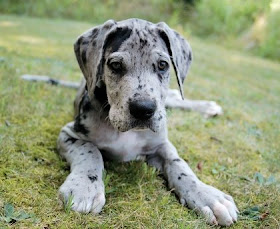 New Arrival Spotted Great Dane Puppy