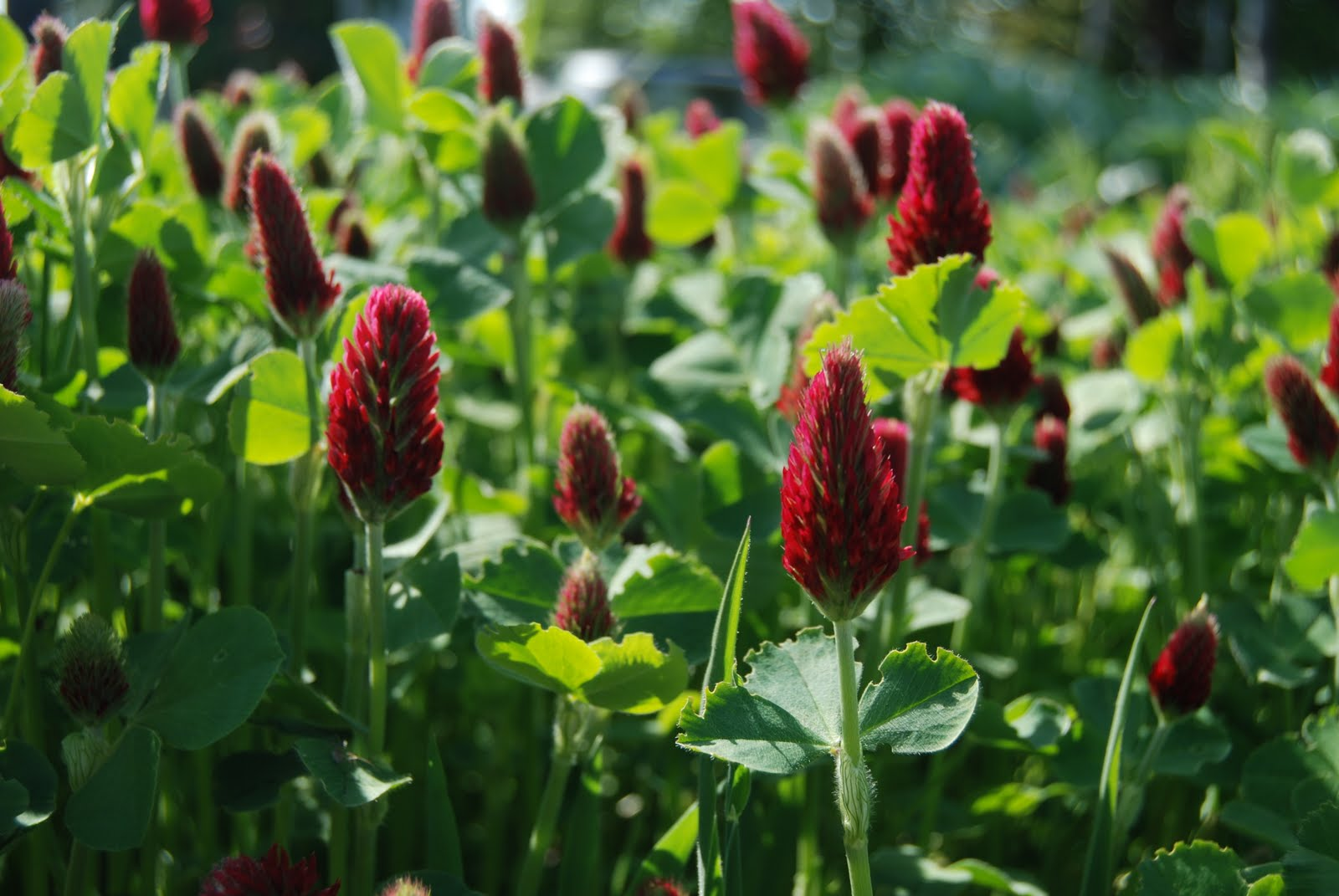 Cover Crops More Information To Help You Choose Osborne