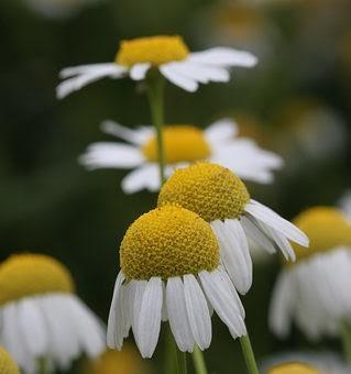 Giardinaggio e fiori camomilla for Giardinaggio e fiori