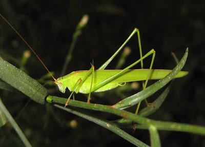 Sickle-bearing Bush-cricket male