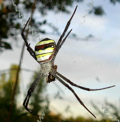 St. Andrew's Cross Spider Picture