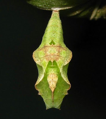 Common Castor Butterfly Pupa-Chrysalis Picture