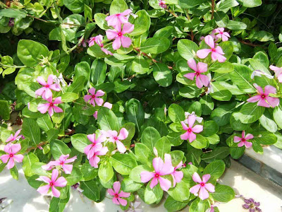 Rosy Periwinkle Plant