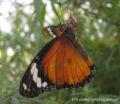 Female Danaid Eggfly Butterfly picture