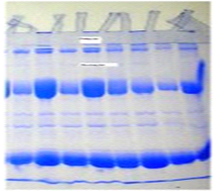 SDS-PAGE: STACKING GEL and RESOLVING GEL