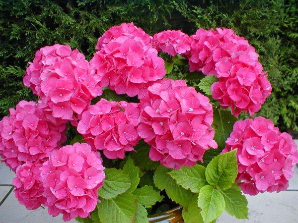 Cuidados Para La Hortensia Plantas - Hortensias-cuidados-poda