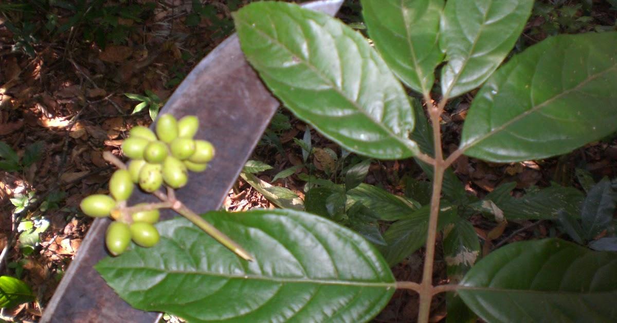 Florestando: Capixim (Mollinedia widgrenii DC)