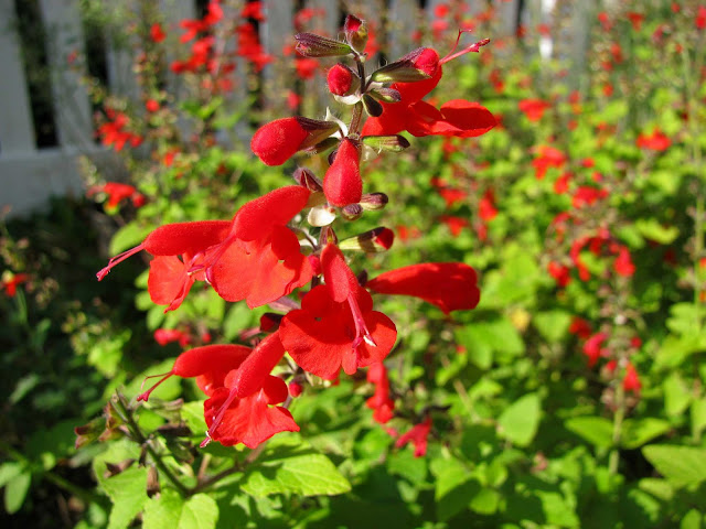 Autumnal-Blooms-Lady-in-Red-Texas-Sage