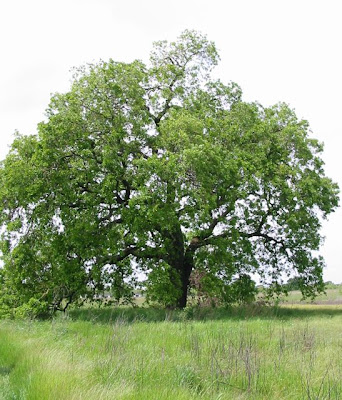 The Farmer Fred Rant Grow Your Own Oak Trees From Acorns