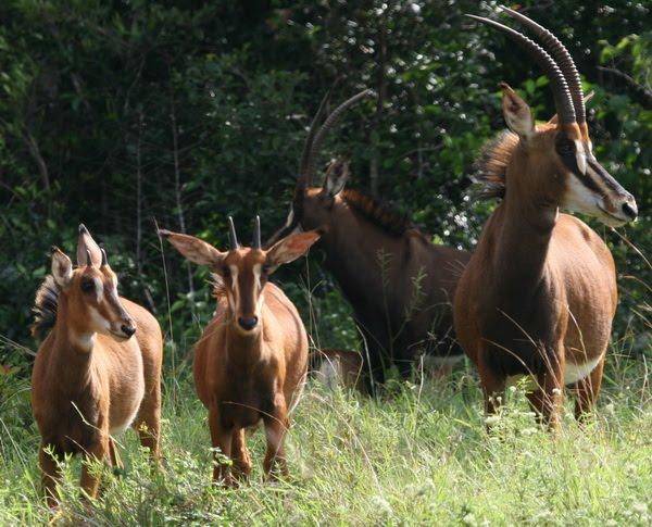 Giant Sable Antelope E...