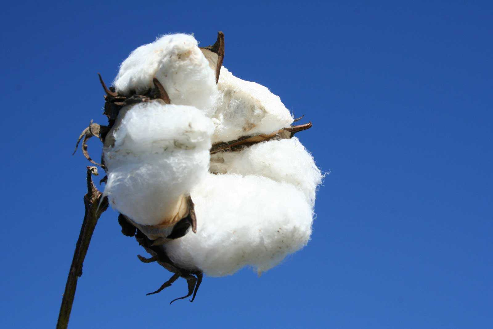 Oct 09,  · Answer Also know as cotton, baumwolle is The most economical natural fiber, obtained from plants of the genus Gossypium, used in making fabrics, cordage, and padding and for .