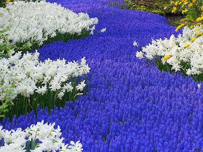 camino-de-flores-azules-entre-margaritas-blancas