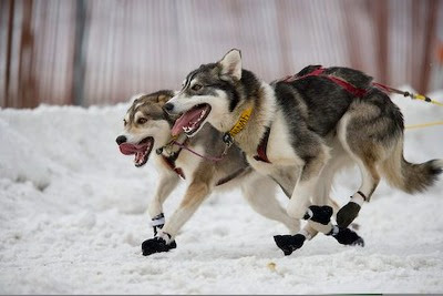 025560e5f40 Juicy Dog Couture: Note Quite Uggs But Keep Iditarod Sled Dogs ...