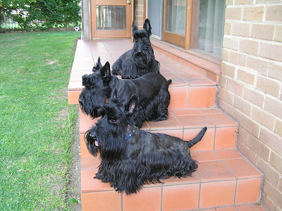 Three Scottish Terrier females