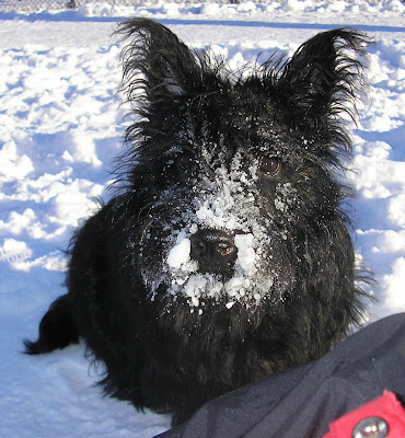 scottish terrier dog in snow