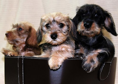 Three adorable wire-haired Dachshund puppies