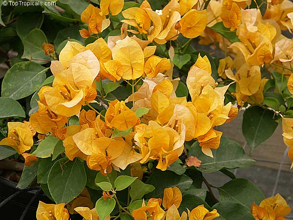 Bougainvillea - CHILLAPPLE Group International hobbies ...