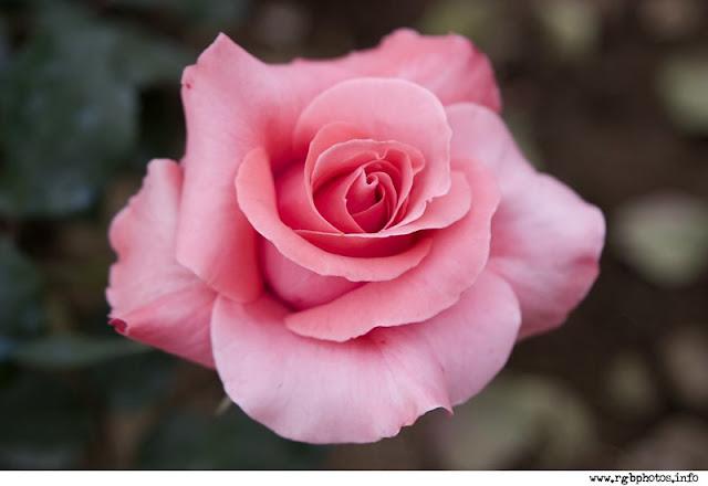 Fotografia di rosa color rosa. Macchina fotografica Canon EOS 10D, ottica Canon EF 28-105mm f.3,5-4,5 USM II