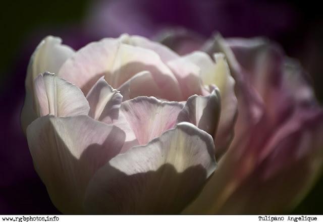 Fotografia di tulipano angèlique -  Macchina fotografica Canon EOS 10d, ottica Sigma 70-300mm f/4-5.6 APO