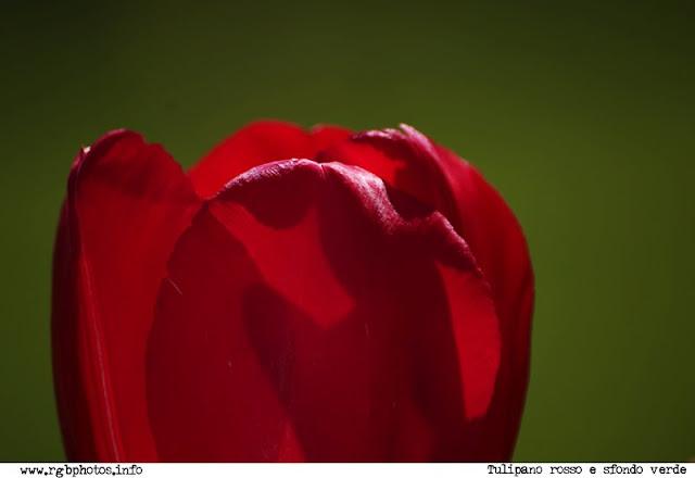 Fotografia di un tulipano rosso su sfondo verde