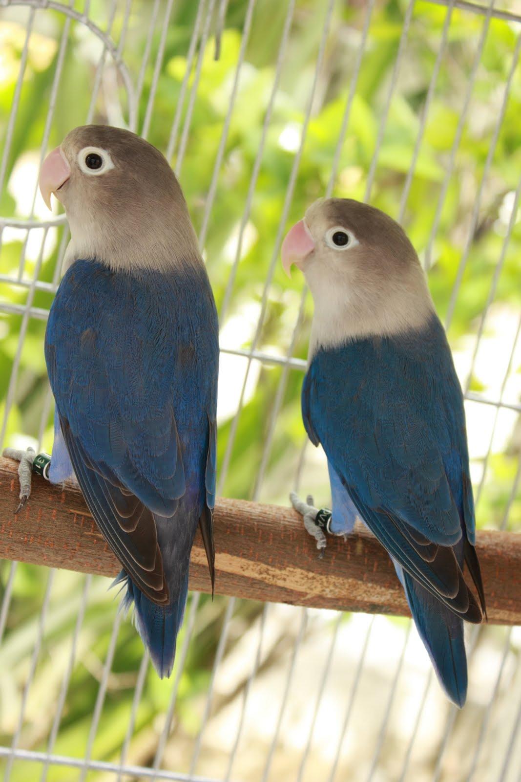 Watta Bird!: Breeding Violet Fischer LoveBirds