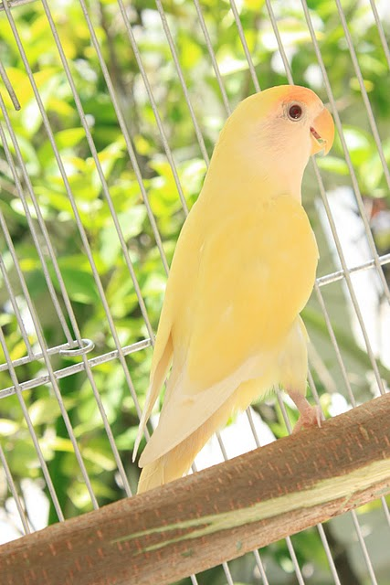 Learn How to Take Proper Care of Lovebirds Before You Own Them