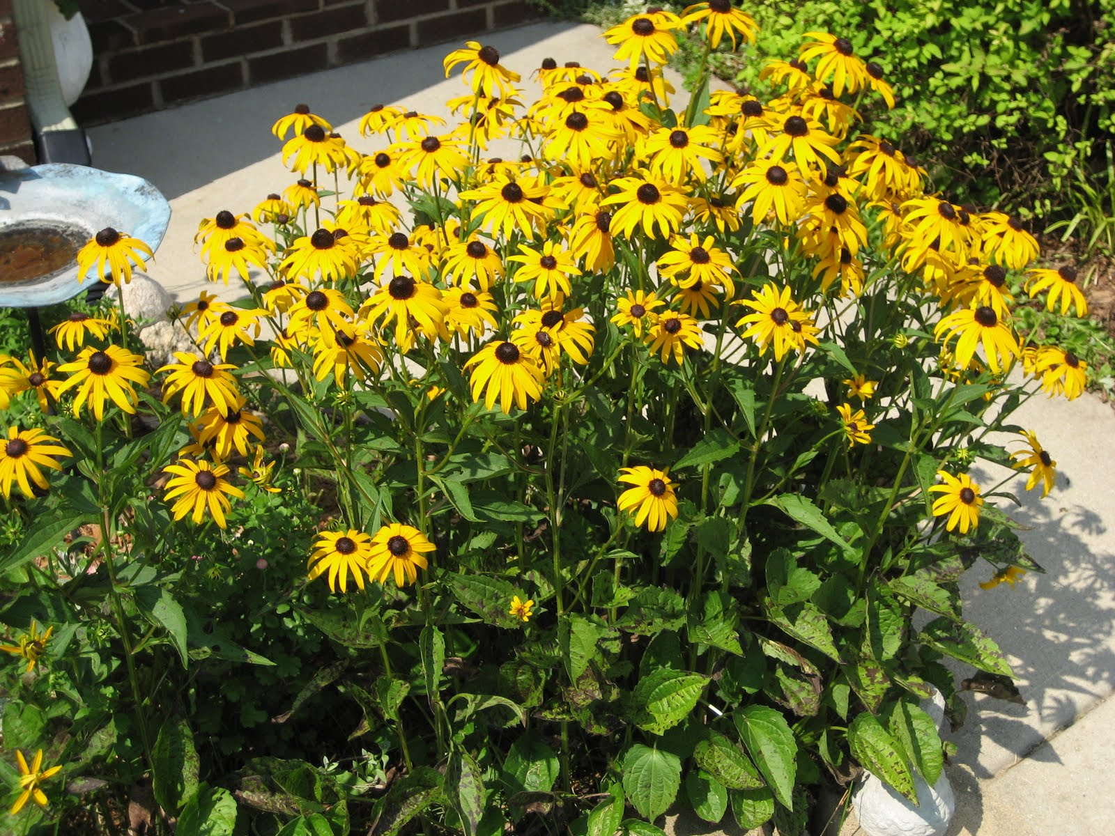 Blackeyed susan a great plant for central oregon