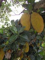 Tổng hợp Địa chỉ những cây ăn trái của người Việt ở Florida