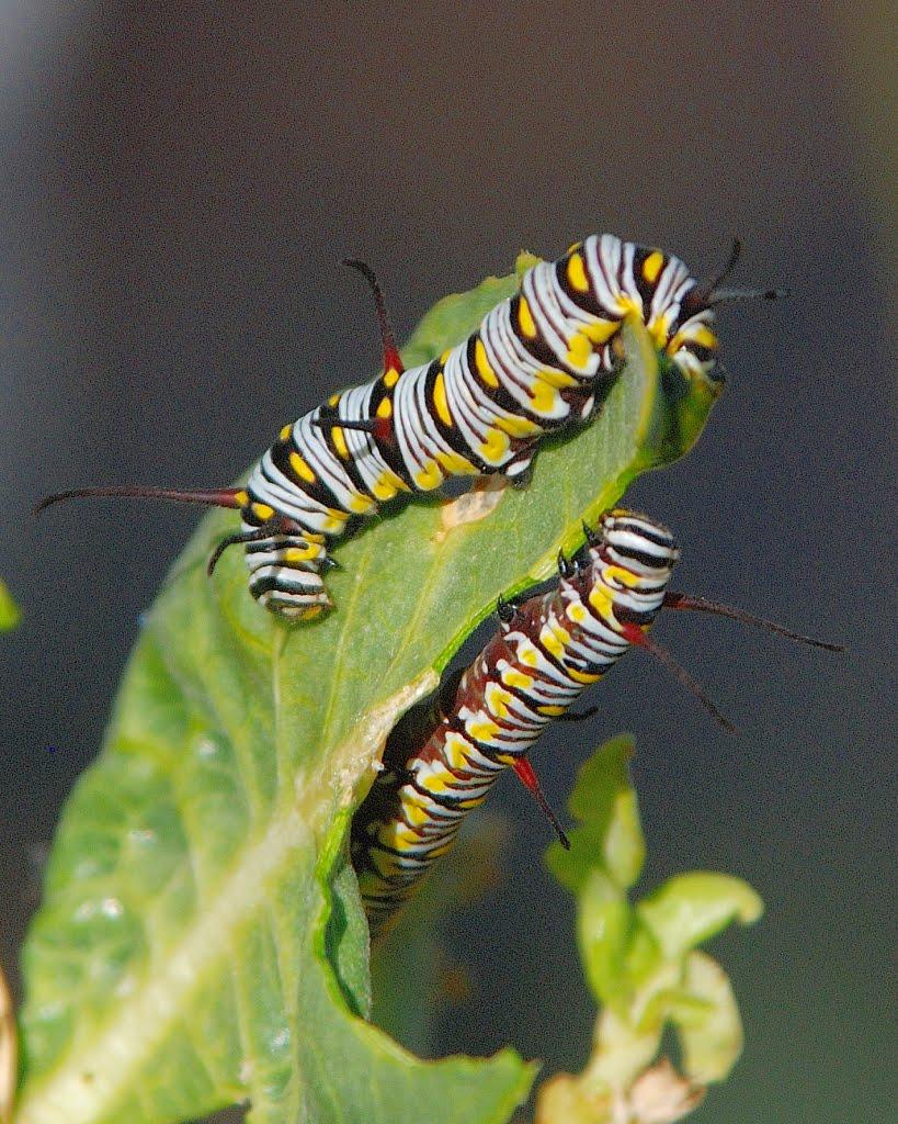 Monarchs in the Desert: Monarch Caterpillars in Phoenix!