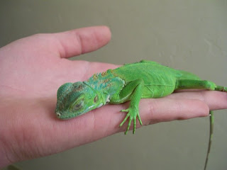 The Ultimate Iguanas Care Blog: January 2010 - photo#7