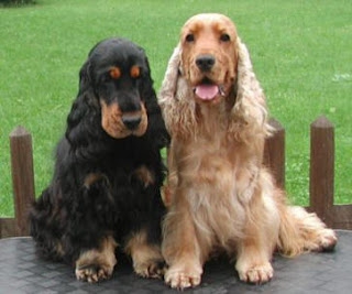 Black and  Brown Cocker Spaniel dog
