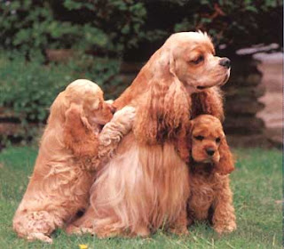 Brown Cocker Spaniel dog family