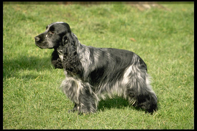 Black and Grey English Cocker Spaniel dog