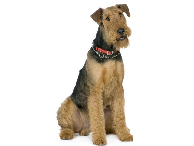 Airedale Terrier Dog breed  all Terrier dogs breed Info