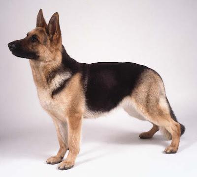 Black and tan German Shepherd Dog