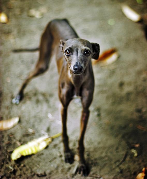 Italian Greyhound Dog Breed Standard | Breeds of small ...