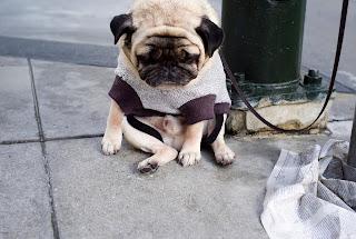 Cute pug in beautiful dress