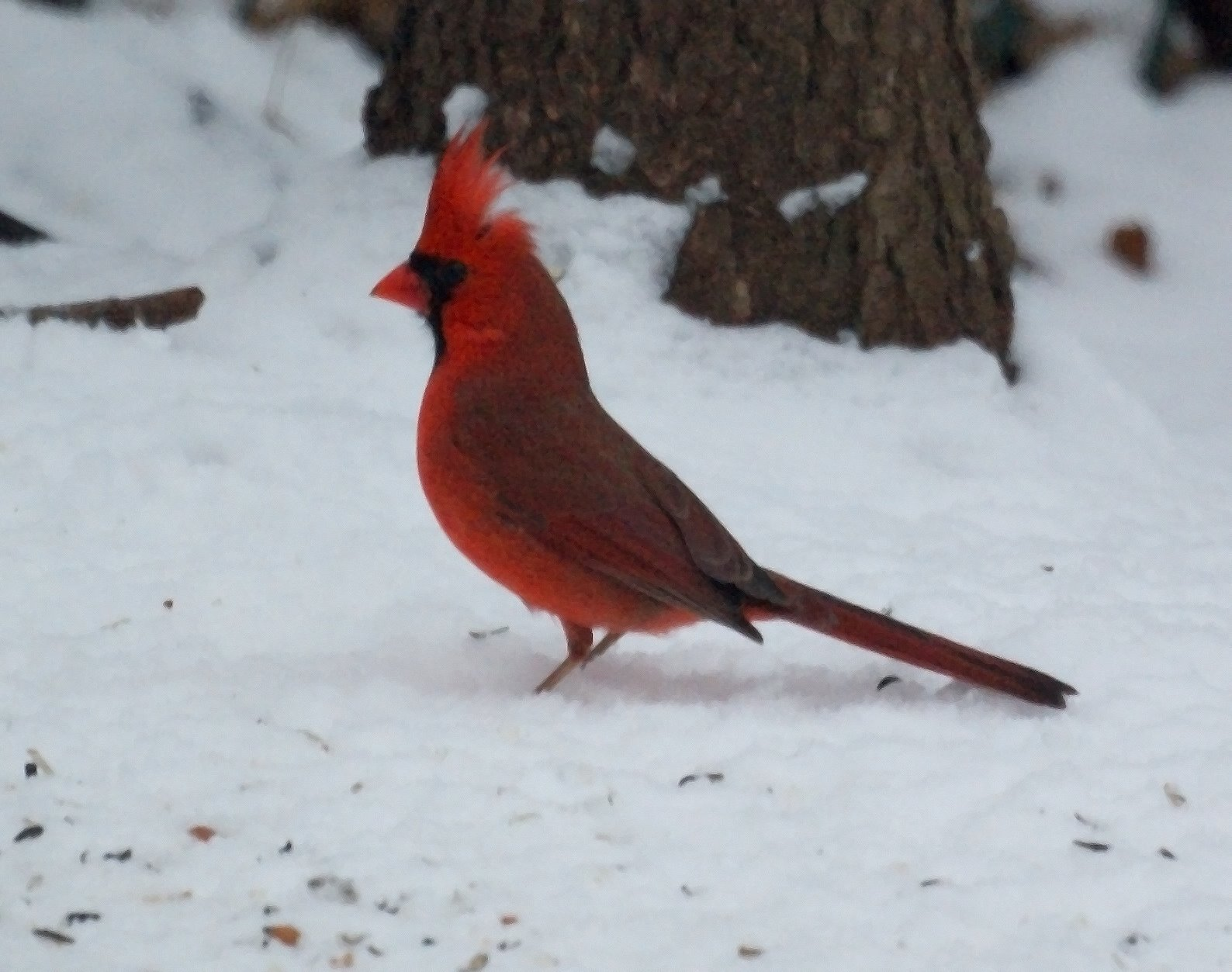Take a look birds in the snow - Pictures of cardinals in snow ...