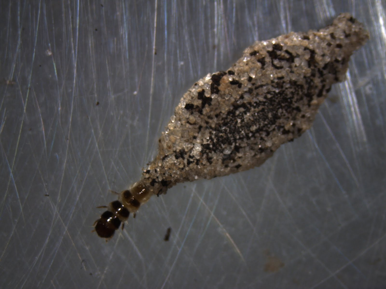 Plaster Bagworm - UF/IFAS Extension Pinellas County